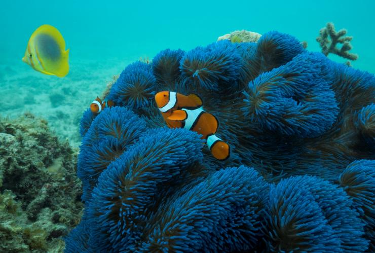Blaue Anemone mit Clownfish, Frankland Islands, Queensland © Phil Warring