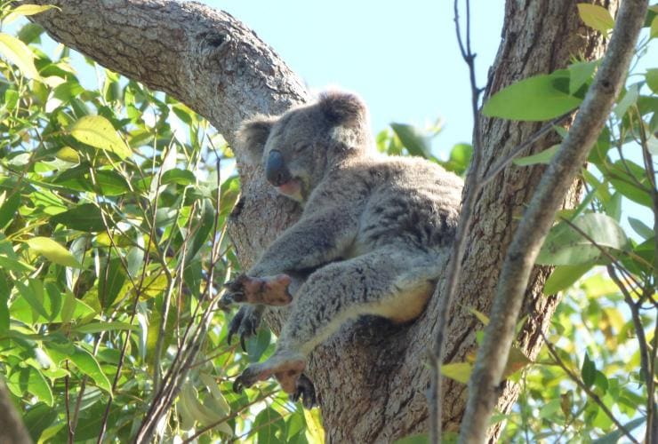 Koala, Tilligerry Habitat, Port Stephens, New South Wales © Tilligerry Habitat
