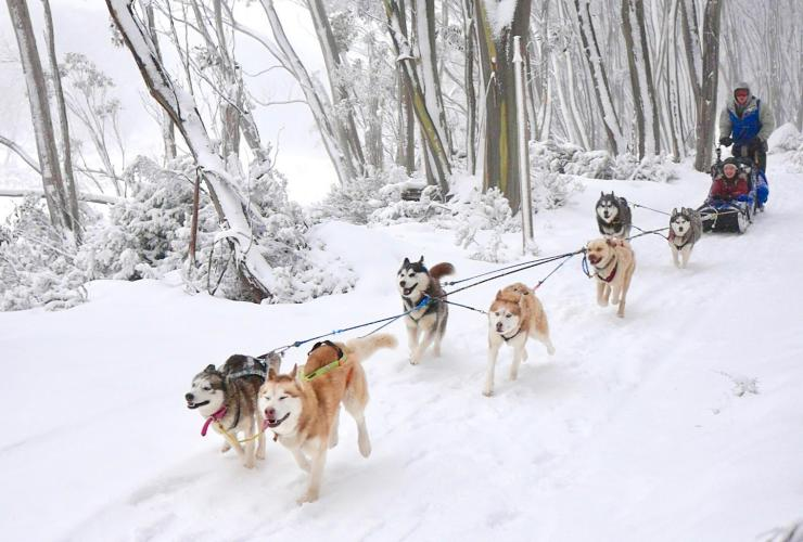 Howling Huskys Dog Sled Tours, Mount Hotham, High Country, Victoria © Howling Huskys Dog Sled Tours
