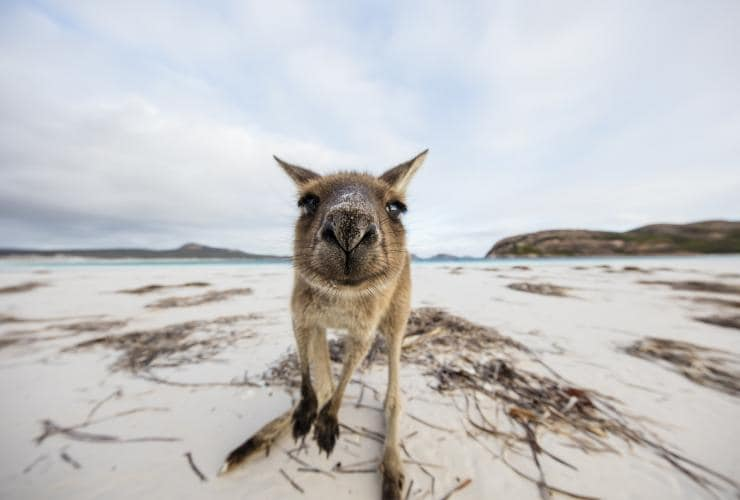 Kangaroos at Lucky Bay, Cape Le Grand National Park, Westaustralien © Tourism Western Australia