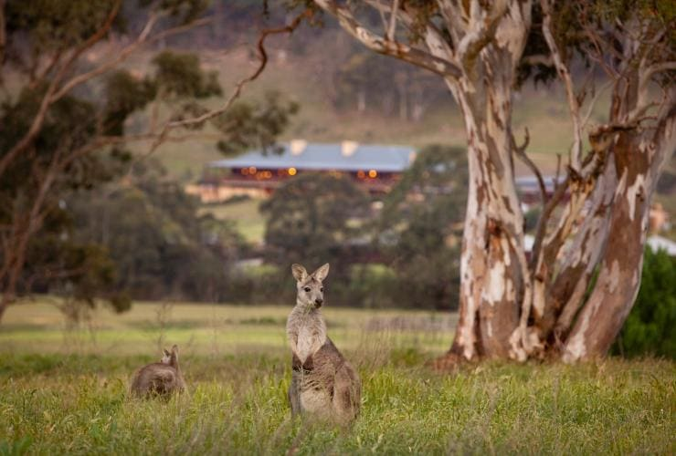 Kängurus im Gras nahe Emirates One&Only Wolgan Valley im Wolgan Valley © Luxury Lodges of Australia