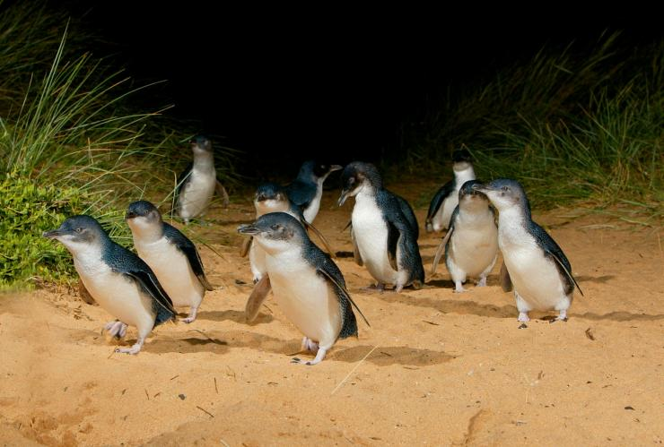 Penguins, Phillip Island Nature Park, Phillip Island, VIC © Tourism Australia