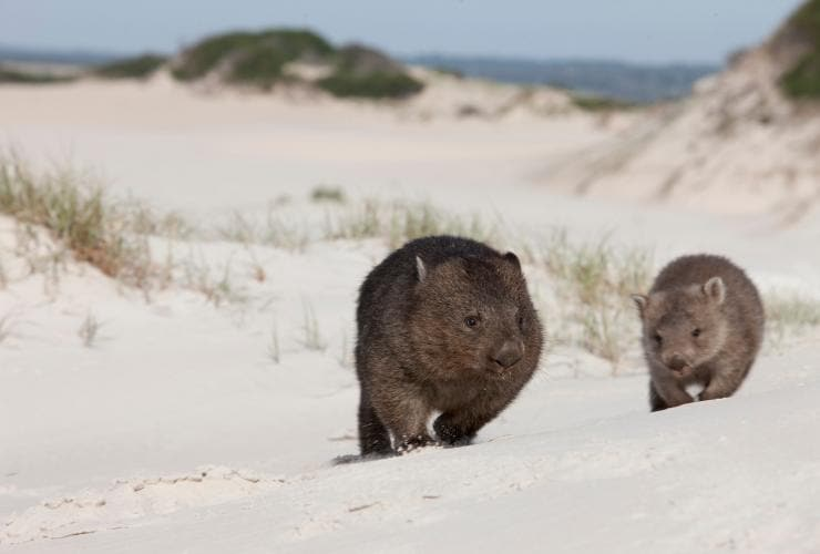 Wombats, Binalong Beach, Binalong Bay, Tasmanien © Tourism Tasmania
