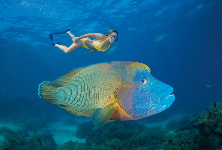 Maori Wrasse, Turtle Bay, Agincourt Reef, Queensland © Tourism and Events Queensland