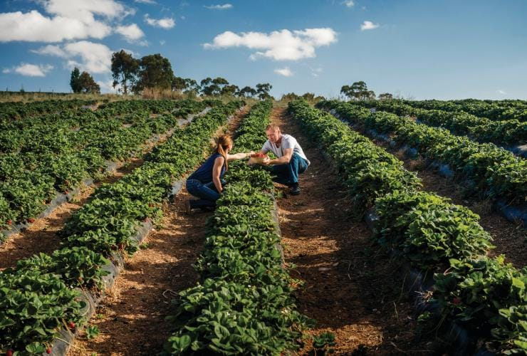 Beerenberg Strawberry Farm 'Pick Your Own', Beerener, Südaustralien © South Australian Tourism Commission