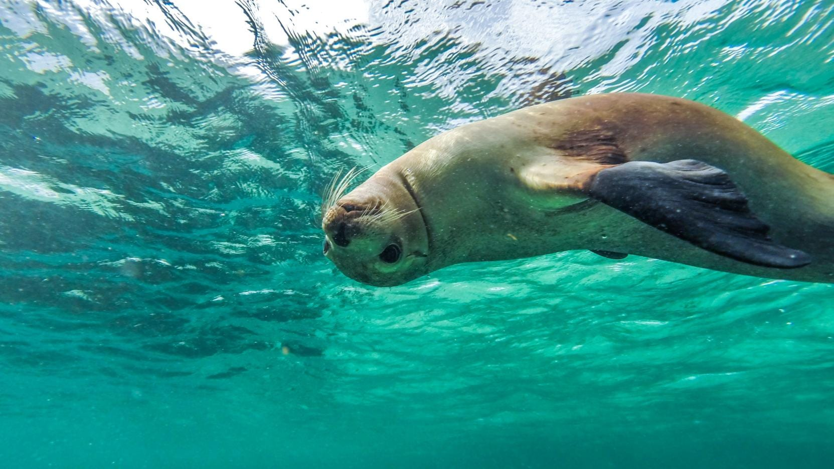 Swimming with sea lions, Baird Bay, Eyre Peninsula, SA. © SATC