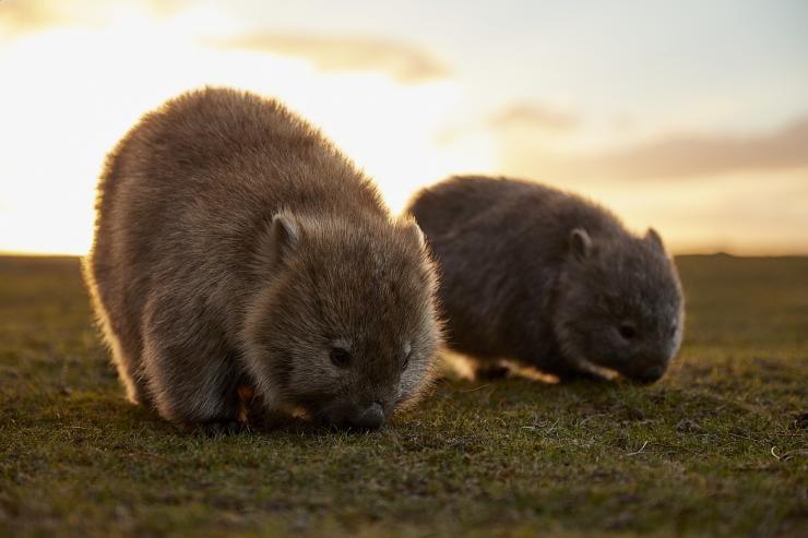 Wombats, Maria Island, Tasmania © Tourism Australia