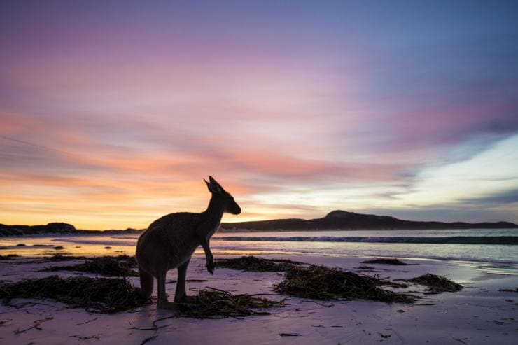 Kangaroo, Lucky Bay, Cape Le Grand National Park, WA © Tourism Western Australia
