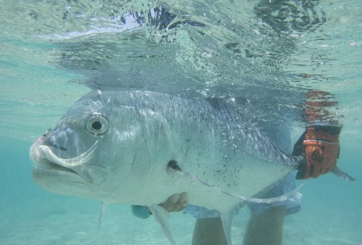 Giant trevally, QLD © Peter Morse