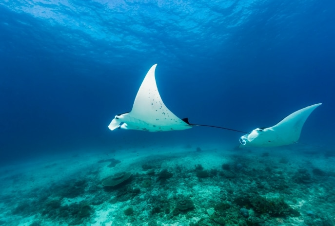 Manta rays, Lady Elliot Island, Southern Great Barrier Reef, QLD © Andrew Watson Photography and Tourism & Events Queensland