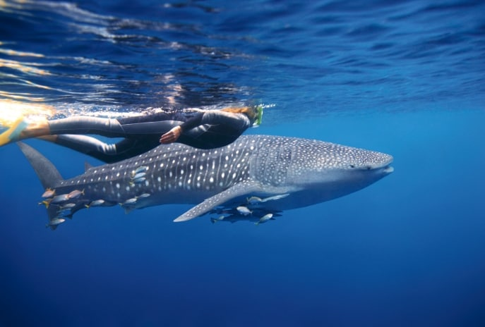 Swimming with whalesharks, Ningaloo Marine Park, WA