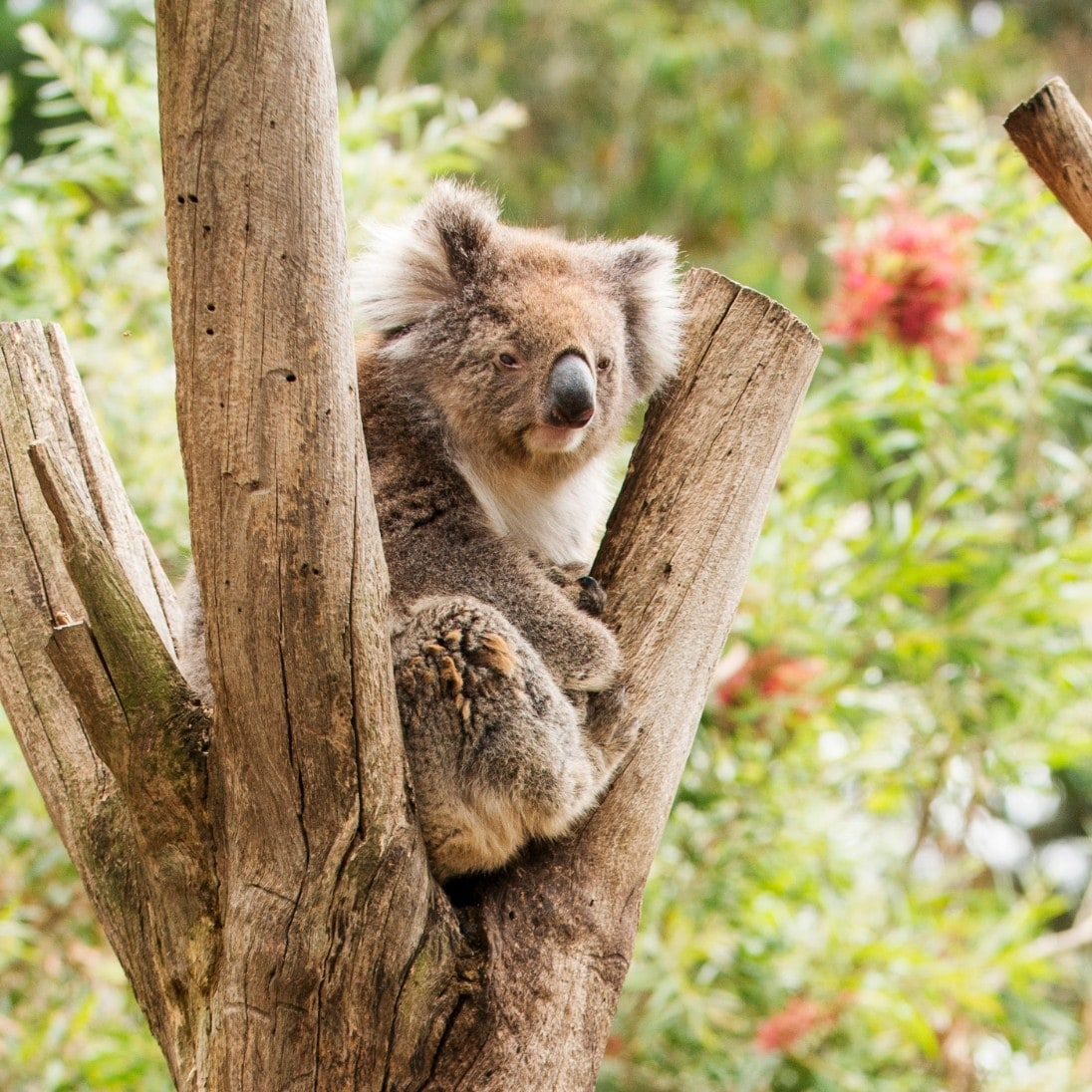 Koala sits in tree branches at Kangaroo Island Wildlife Park © Julie Fletcher