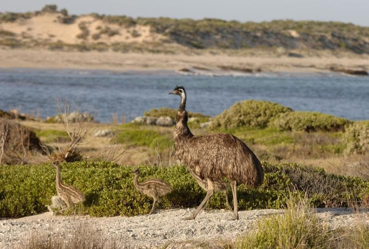 Emus, Yorke Peninsula, Innes National Park, SA © South Australian Tourism Commission, Adam Bruzzone