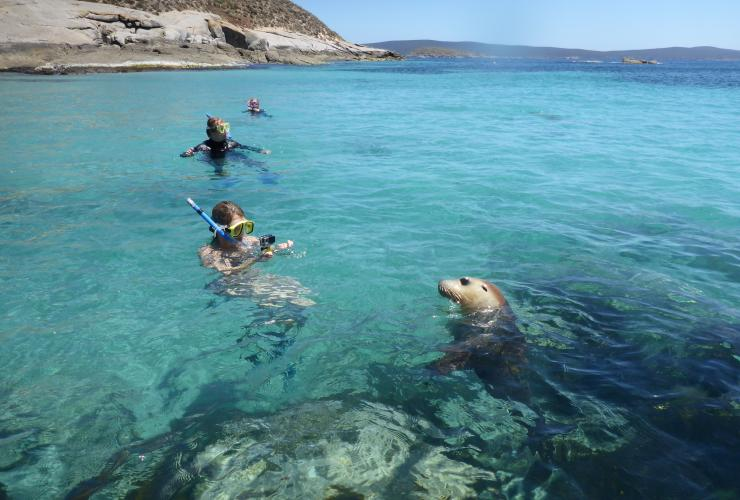 Sea lions, Port Lincoln, SA © Calypso Star Charters