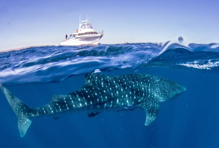 A whale shark in the waters of Ningaloo Marine Park © Exmouth Dive and Whalesharks Ningaloo