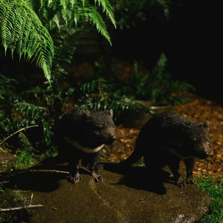 Tasmanian devils during an after dark feeding tour at Devils@Cradle © Stu Gibson/Tourism Tasmania