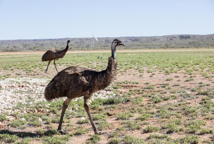 Emus in a field near Exmouth © Tourism Western Australia