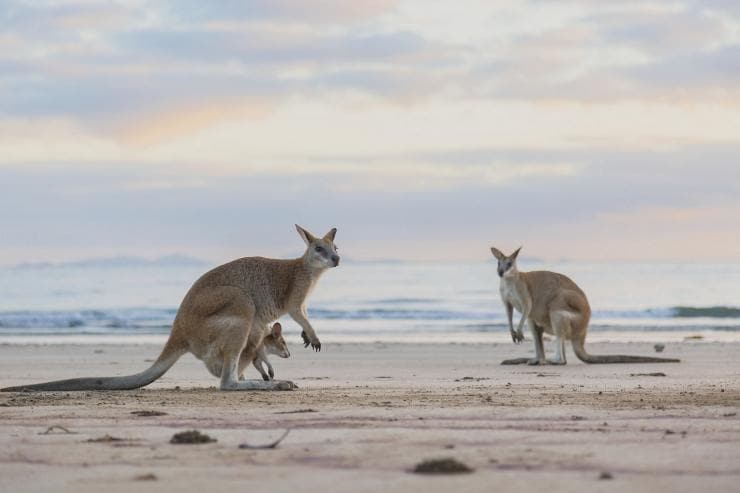 Kangaroo and joey jumping along Lucky Bay in Cape Le Grand National Park © Tourism Australia