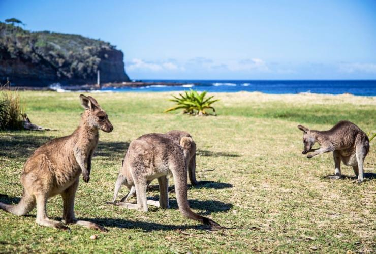 Kangaroos on the grass beside Pebbly Beach in Murramarang National Park © Tourism Australia