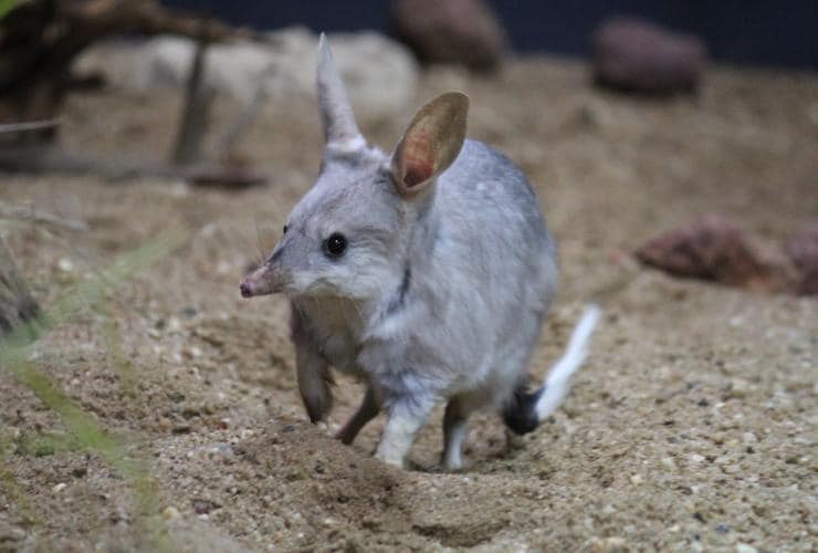 The Bilby Experience, Charleville, Queensland © Save the Bilby Fund