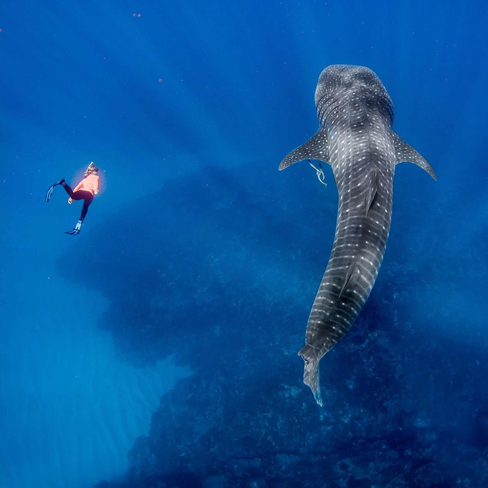 Snorkeler swims next to a whale shark near Exmouth © Chris Jansen/Live Ningaloo