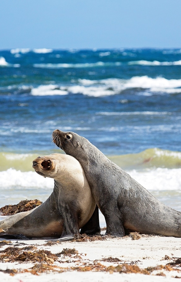 Two sea lions on the beach at Seal Bay Conservation Park in Kangaroo Island © Exceptional Kangaroo Island