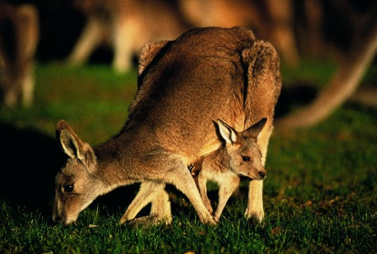 Kangaroo with joey in her pouch on Anglesea Golf Course in Anglesea © Visit Victoria