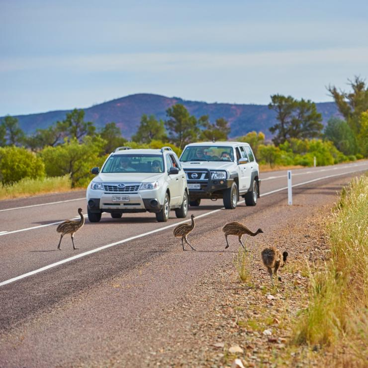 Cars stopped to let emus cross the road in Ikara-Flinders Ranges National Park © South Australian Tourism Commission