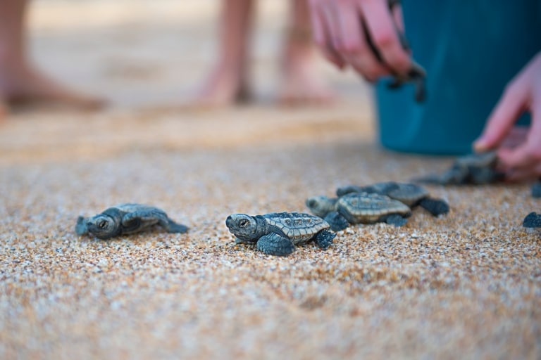 Baby turtles released onto the beach at Mon Repos Conservation Park © Lauren Bath
