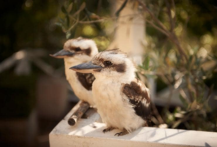 Kookaburras perched on a ledge at the Lake House in Daylesford © Christina Simons