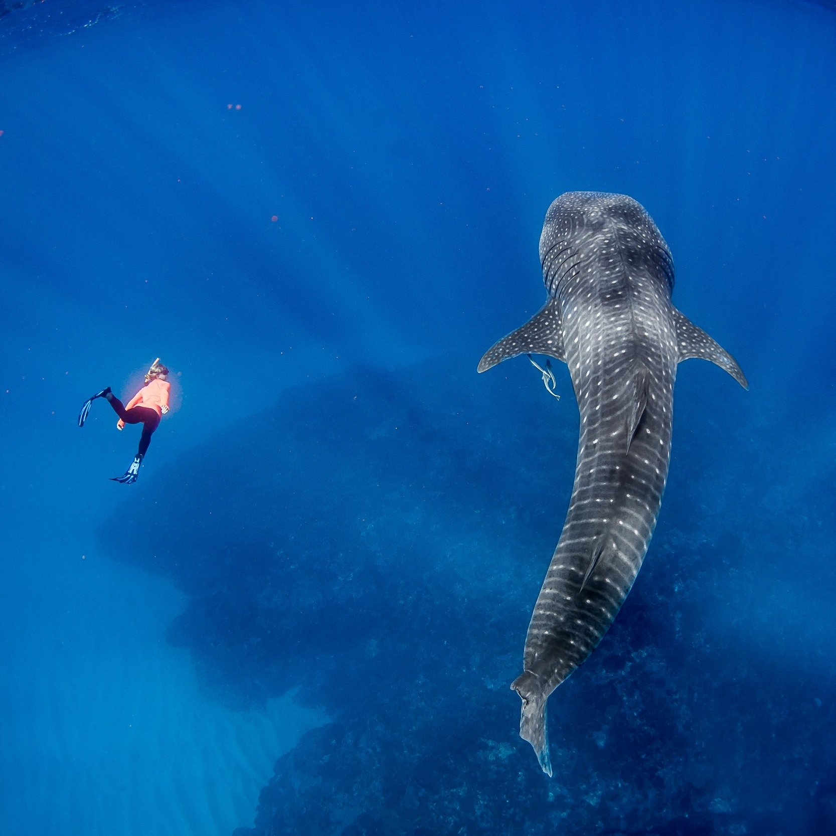 Whale shark, Live Ningaloo, Exmouth, WA © Chris Jansen / Live Ningaloo