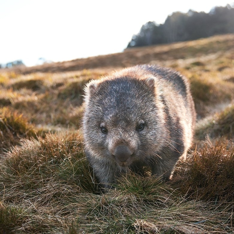Wombat, Cradle Mountain, TAS © Tourism Australia