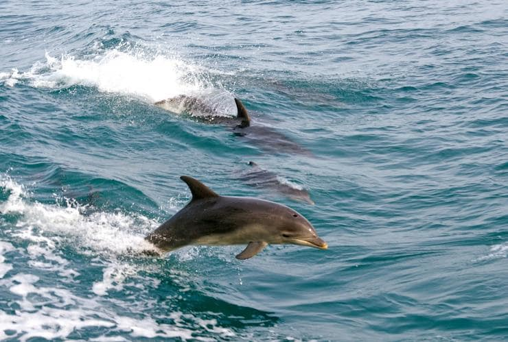 Dolphins in Port Phillip Bay, Melbourne, VIC © Visit Victoria