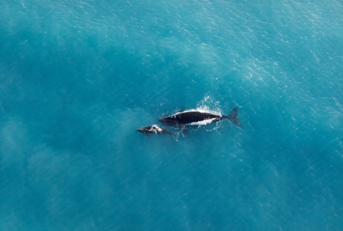 Southern right whale and calf, Great Australian Bight, Eyre Peninsula, SA © South Australian Tourism Commission