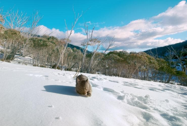 Wombat walking in the snow, Mount Kosciuszko, NSW © Tourism Australia