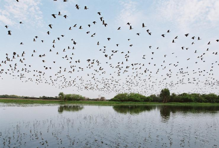 Flock of birds fly over wetlands in Kakadu National Park © Gary Topic