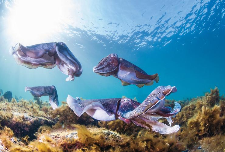 Cuttlefish swimming underwater © Carl Charter