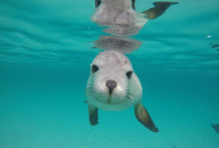 A sea lion swimming underwater in Port Lincoln © Calypso Star Charters
