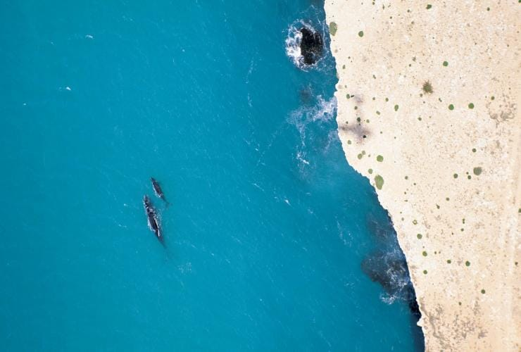 Southern right whale mother and calf swim next to stark white cliffs at the Head of Bight © South Australian Tourism Commission/Adam Bruzzone