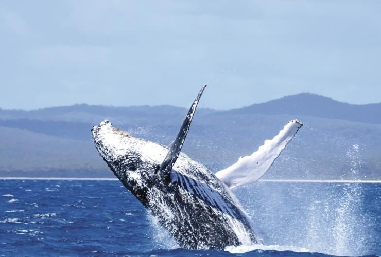 Humpback whale, Hervey Bay, QLD © Tourism and Events Queensland