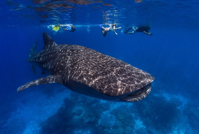 Swimming with whale sharks, Christmas Island © Tourism Australia