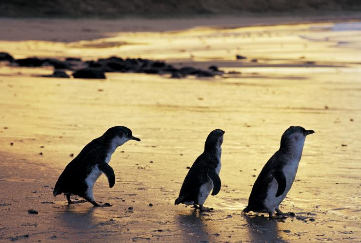 Little penguins, Phillip Island Nature Park, Phillip Island, VIC © Phillip Island Nature Park