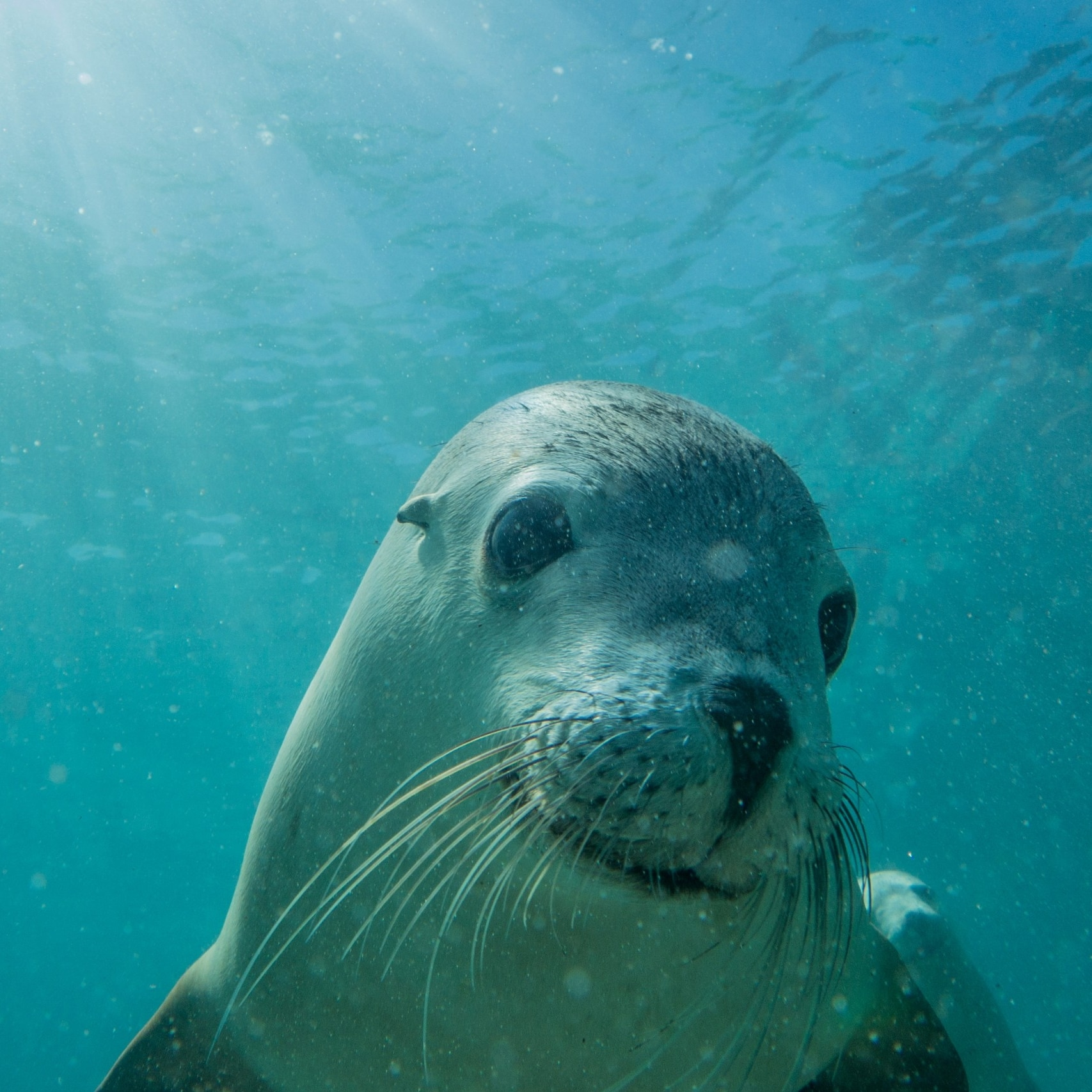 Sea Lions, Adventure Bay Charters, Hopkins Island, SA © Tourism Australia