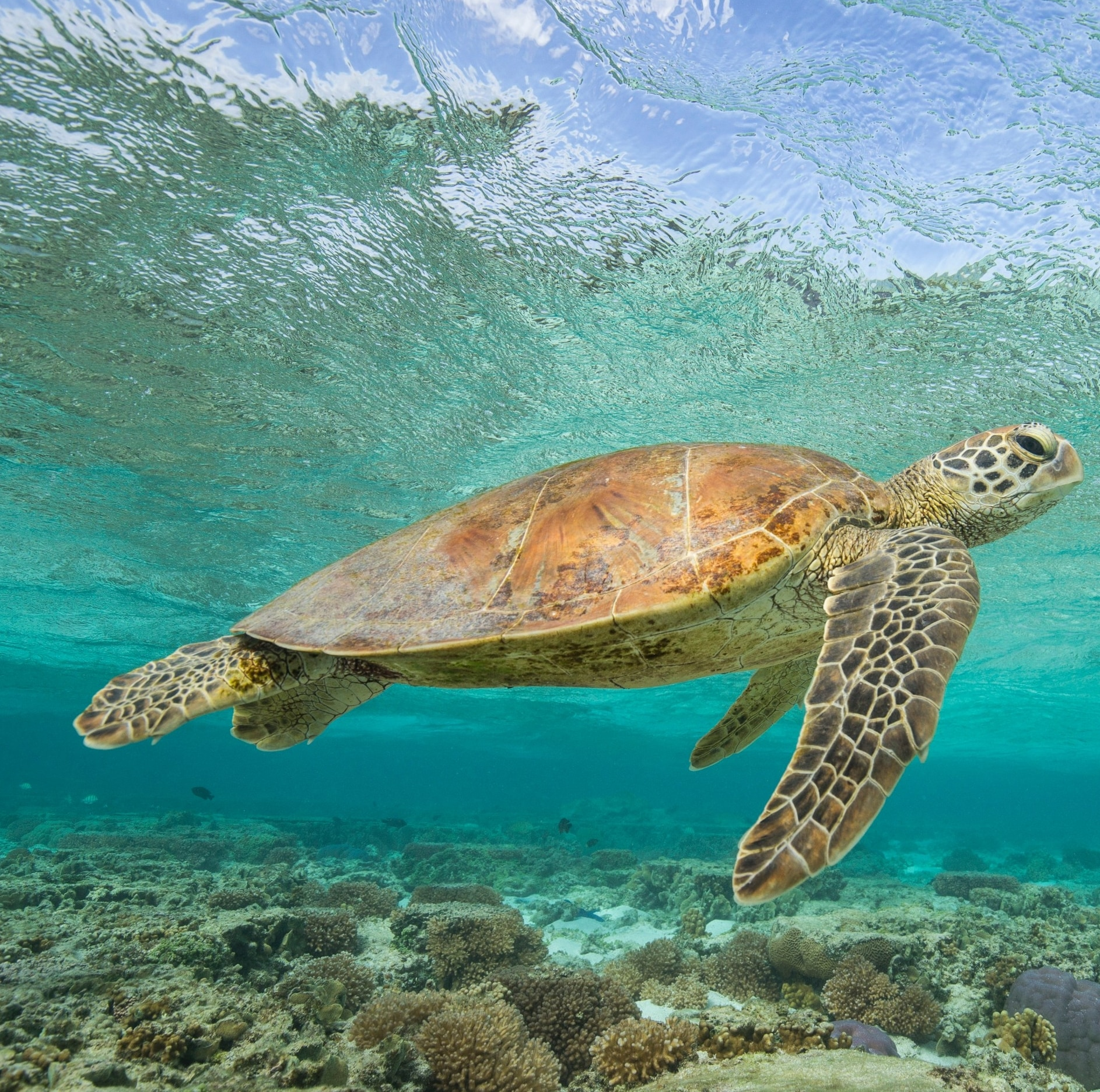 Sea Turtle, Lady Elliot Island, Queensland © Sean Scott Photography