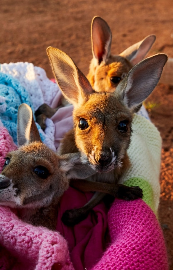 Joeys in a blanket at The Kangaroo Sanctuary in the Northern Territory © Tourism Australia