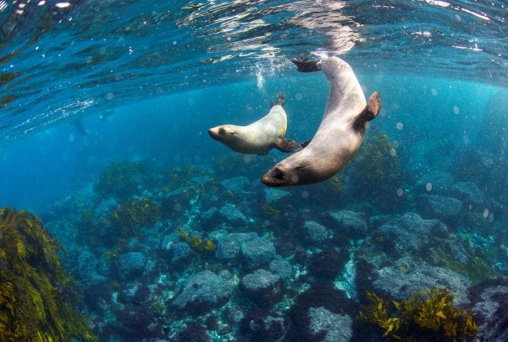 Fur seals swimming around Montague Island © Destination NSW