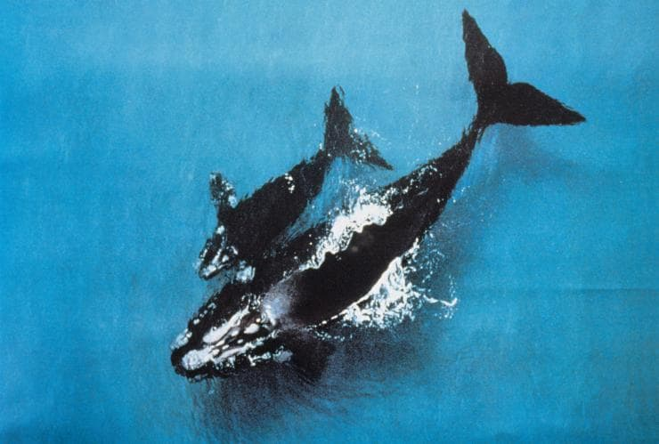Whale watching, Wildlife Coast Cruises, Phillip Island, VIC © Tourism Australia