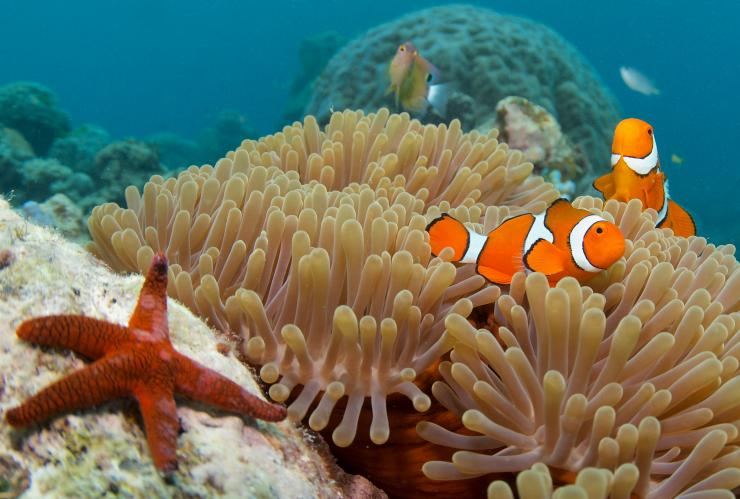 Clown fish, Great Barrier Reef, Cairns, QLD © Tourism and Events Queensland