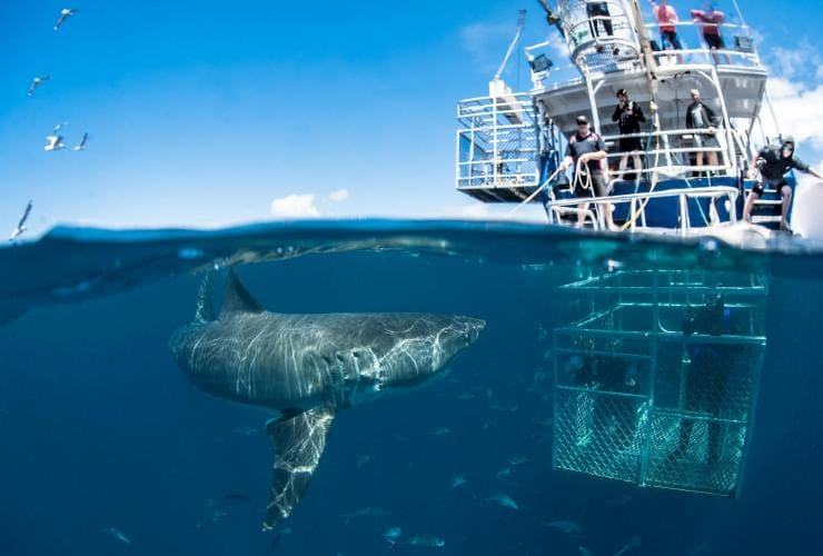 Shark cage diving, Rodney Fox Shark Expeditions, Port Lincoln, SA © Sam Cahir