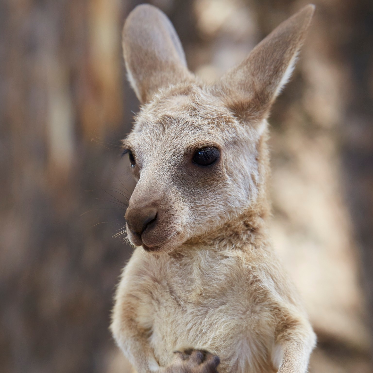 Joey at Lone Pine Koala Sanctuary, Brisbane, QLD © Tourism Australia